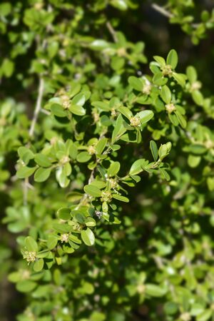 Japanese box branch with flowers - Latin name - Buxus microphylla var. japonica