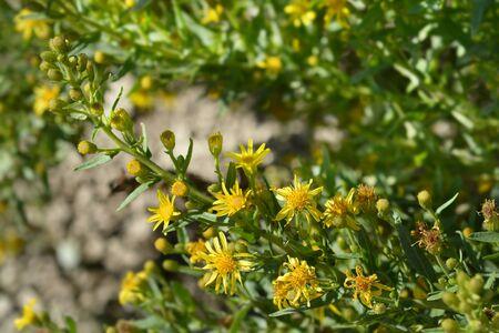 Sticky aster yellow flowers - Latin name - Dittrichia viscosa Stock Photo