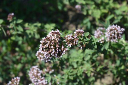 Common marjoram pink flowers - Latin name - Origanum vulgare