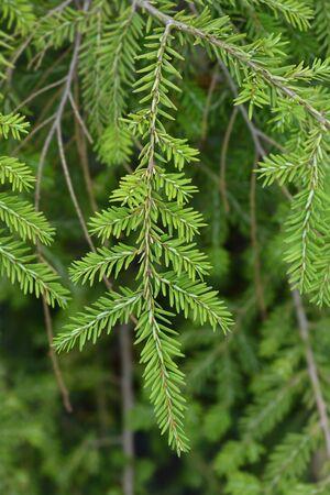 Eastern hemlock branch - Latin name - Tsuga canadensis