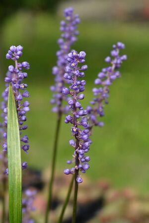 Big Blue Lilyturf Flower Buds Latin Name Liriope Muscari Stock