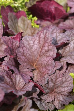 Coral Bells World Caffe leaves - Latin name - Heuchera World Caffe