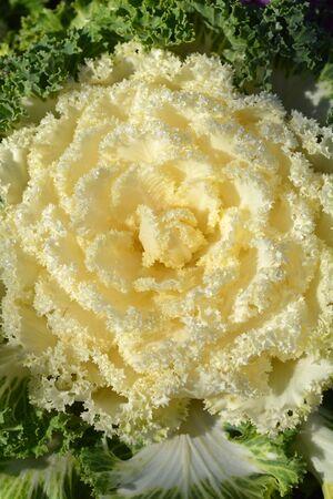 White Ornamental cabbage - Latin name - Brassica oleracea var. acephala