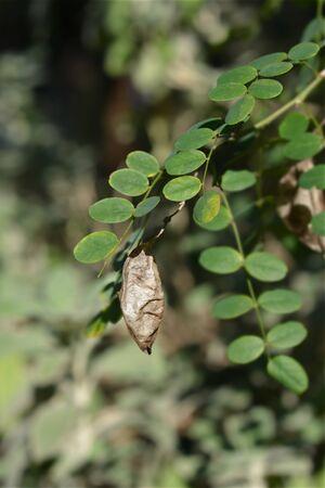 Common bladder senna branch - Latin name - Colutea arborescens