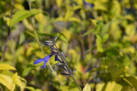 Anise-scented sage Black and Blue flower - Latin name - Salvia guaranitica Black and Blue