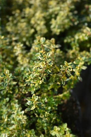 Aureus Lemon Thyme - Latin name - Thymus x citriodorus Aureus