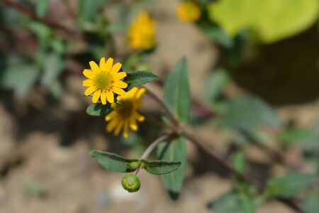 Mexican creeping zinnia yellow flowers - Latin name - Sanvitalia procumbens