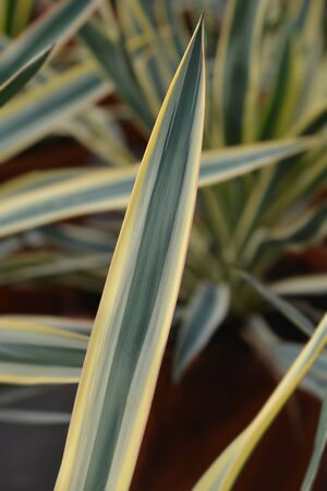Variegated Spanish dagger leaves - Latin name - Yucca gloriosa Variegata Imagens