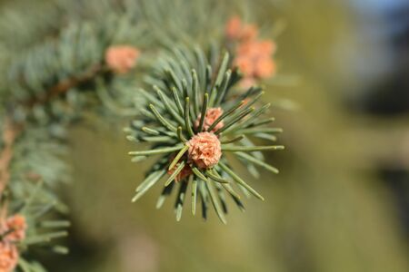 Norway spruce - Latin name - Picea abies