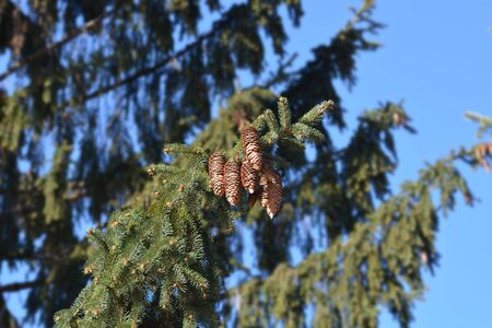 Norway spruce branch with cones - Latin name - Picea abies