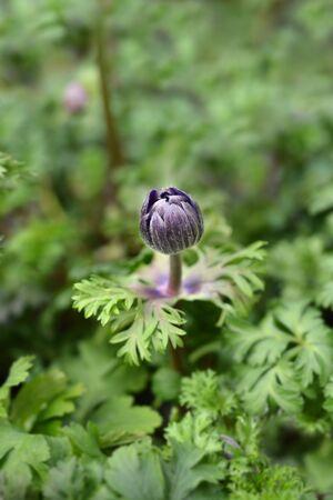 Crown anemone Animo Blue flower bud - Latin name - Anemone coronaria Animo Blue