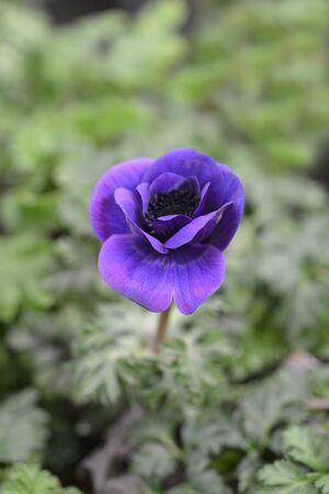 Crown anemone Animo Blue - Latin name - Anemone coronaria Animo Blue