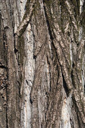 Lombardy poplar bark - Latin name - Populus nigra var. italica