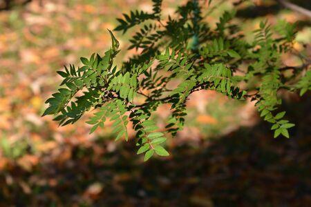 Japanese pepper tree - Latin name - Zanthoxylum piperitum 版權商用圖片