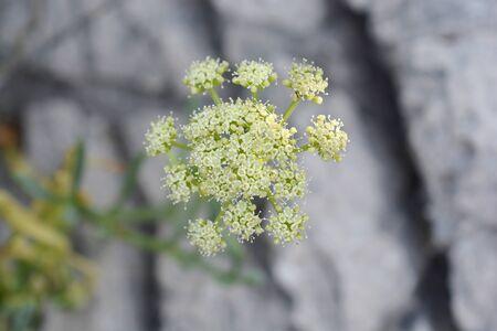 Sea fennel flowers - Latin name - Crithmum maritimum