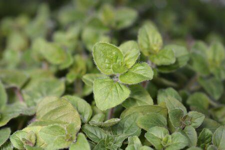 Common marjoram leaves - Latin name - Origanum vulgare