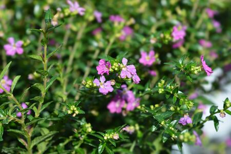 False heather flower - Latin name - Cuphea hyssopifolia Stock Photo