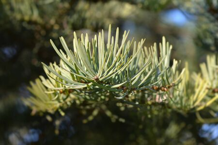 Colorado white fir branch - Latin name - Abies concolor