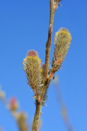 Rose Gold Pussy Willow - Latin name - Salix gracilistyla Mount Aso 版權商用圖片