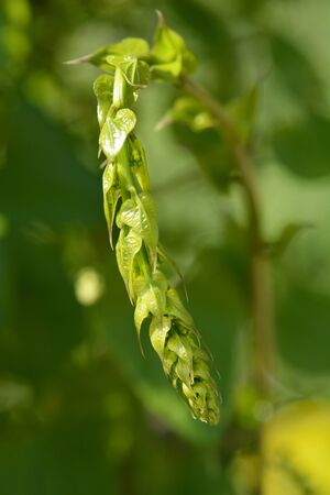 Close up of black bryony young shoot - Latin name - Dioscorea communis (Tamus communis)