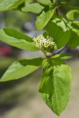 Siberian dogwood - Latin name - Cornus alba Sibirica Stock Photo