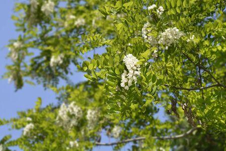 Black locust - Latin name - Robinia pseudoacacia