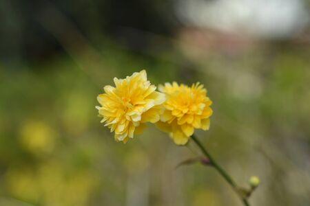 Double-flowered Japanese rose - Latin name - Kerria japonica Pleniflora