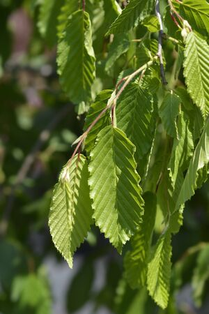 Weeping hornbeam - Latin name - Carpinus betulus Pendula Reklamní fotografie