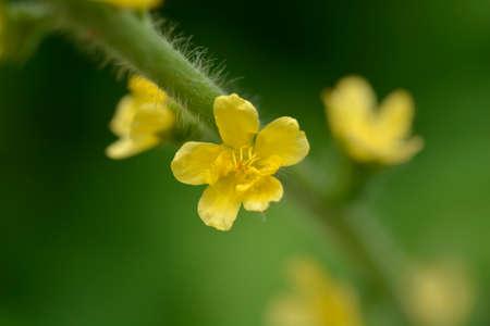 Common agrimony - Latin name - Agrimonia eupatoria