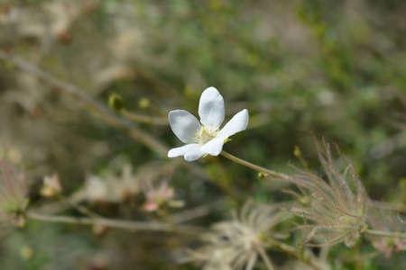 Ache plume flower and seed head - Latin name - Fallugia paradoxa 写真素材