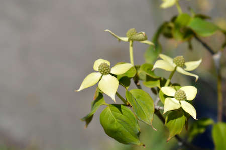 Flowering dogwood Teutonia - Latin name - Cornus kousa Teutonia