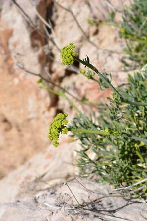 Sea fennel flowers - Latin name - Crithmum maritimum Stock Photo