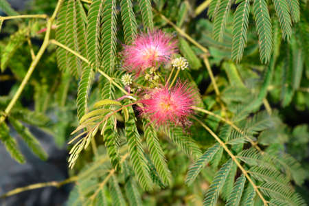 Silk tree flowers - Latin name - Albizia julibrissin