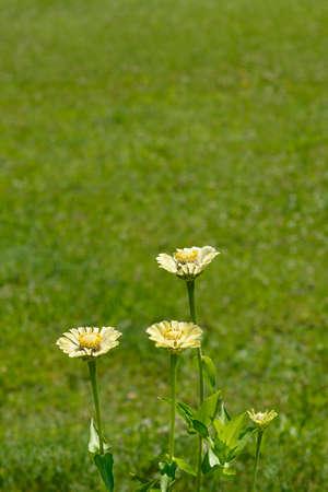 Zinnia Envy flowers - Latin name - Zinnia elegans Envy