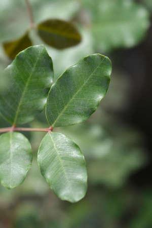 Carob tree leaves - Latin name - Ceratonia siliqua 版權商用圖片