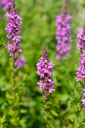 Purple loosestrife flower - Latin name - Lythrum salicaria 写真素材