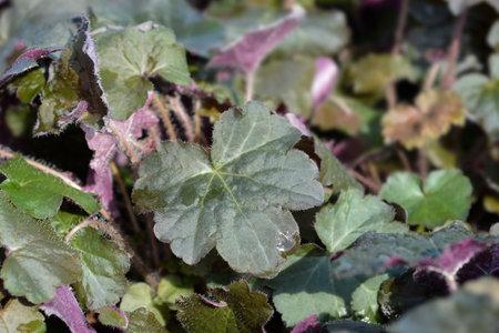 Palace Purple Coral Bells leaves - Latin name - Heuchera micrantha Palace Purple
