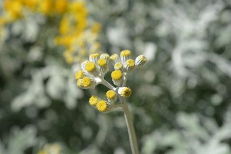 Silver ragwort flower buds - Latin name - Jacobaea maritima (Senecio cineraria)