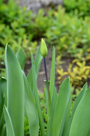Tulip Candela flower bud - Latin name - Tulipa fosteriana Candela
