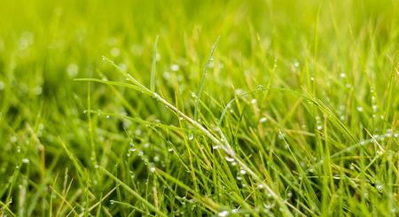 Beautiful Rain Drops on Green Grasses in Morning