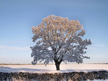 snow covered: Winter landscape  Tree with branches covered with snow on a snowy field behind a hedge Stock Photo