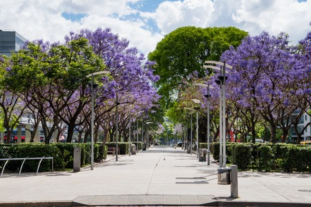 Park in Puerto Madero with Jacaranda trees with violet flowers Imagens