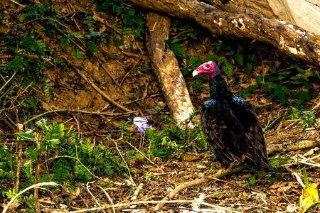 Abutre cubano na opinião do vale de Vià ± ales em Cuba. Natureza irreal com lagos, montanhas, árvores, animais selvagens. Céu gorgeus.