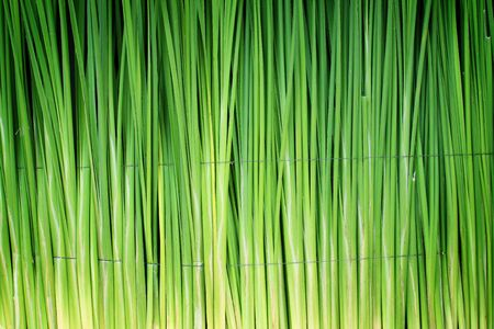Green leaf of Papyrus abstract background photo