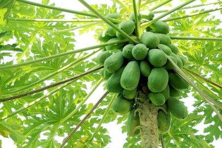 papaya tree: papaya on plant the papaya tree Stock Photo