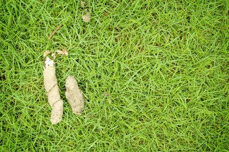 shit: dog shit on green grass