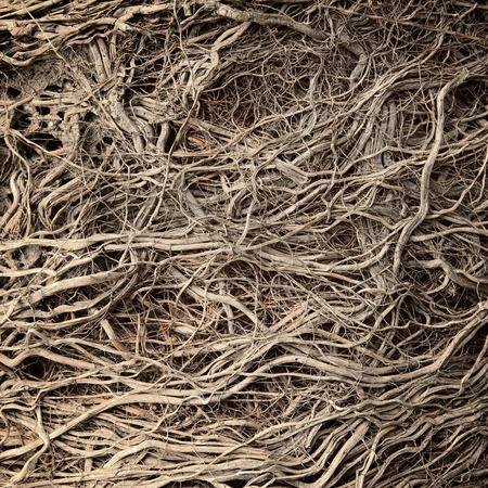 arboles secos: Ra�ces de �rbol viejo sin tierra - fondo org�nico Foto de archivo