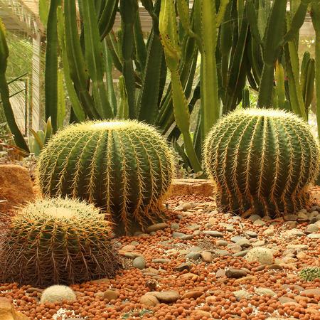De gouden Cactus van het Vat in een tuin van de cactus. Stockfoto