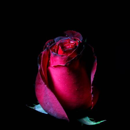 red floral: one red rose on a black background