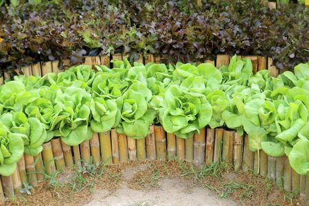 entire: Oakleaf lettuce, corrugated lettuce on entire background